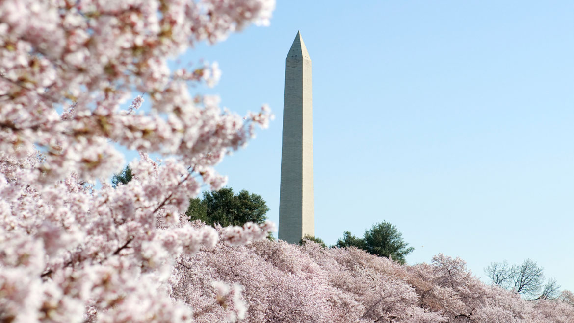 Cherryblossoms and Washington Monument D.C.