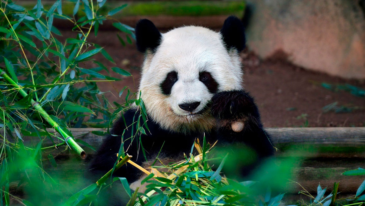Panda at the Atlanta Zoo