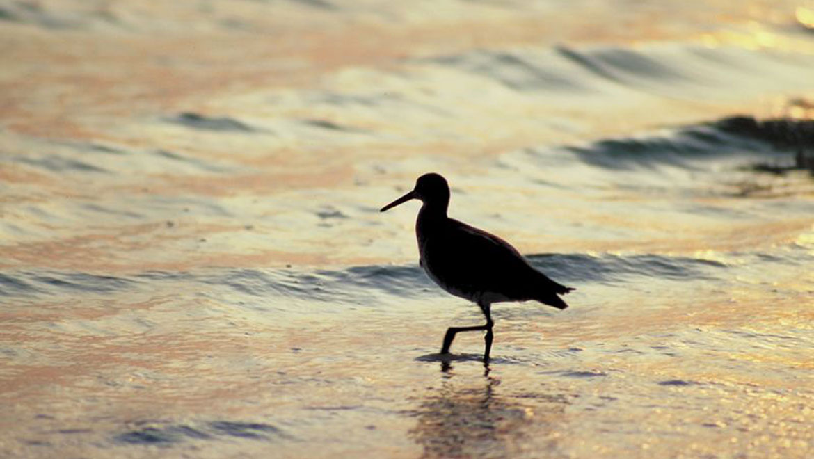 Bird on Corpus Christi beach
