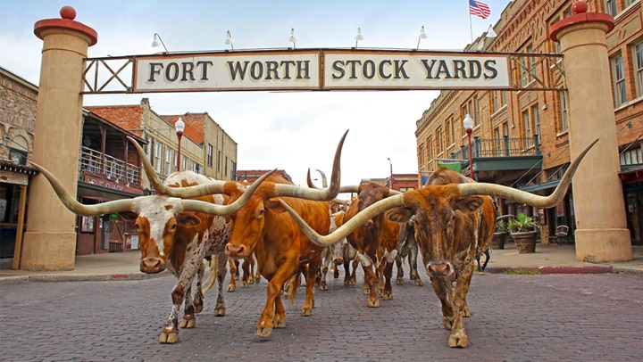 Cattle Drive in Fort Worth Stock Yards