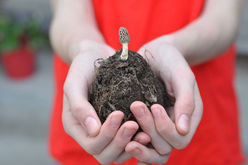 person holding morel in a pile of dirt