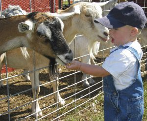 young boy feeding goats