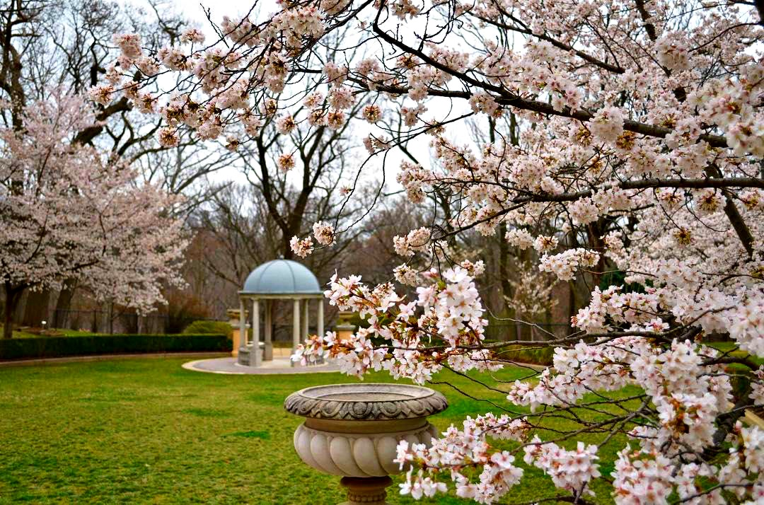 cherry blossoms at omni shoreham
