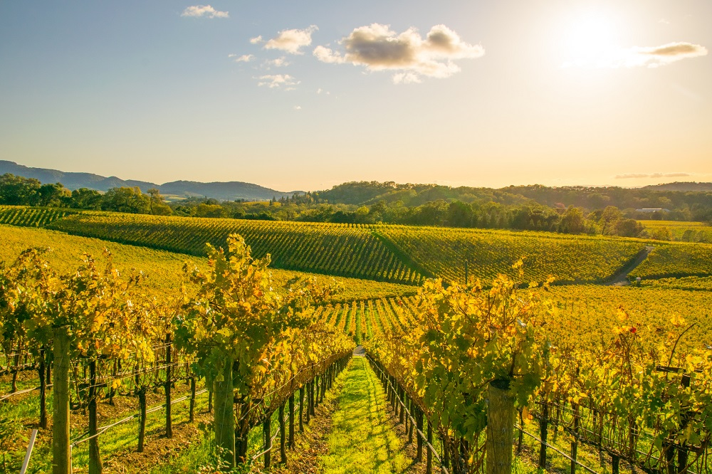 View of vineyard in Napa Valley, California