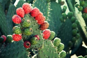 Mexican nopal plant with red prickly pear fruit